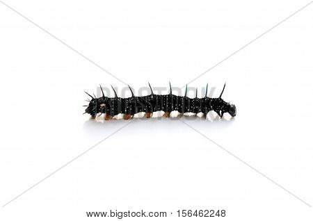 Caterpillar of a Peacock butterfly Inachis io in front of white background