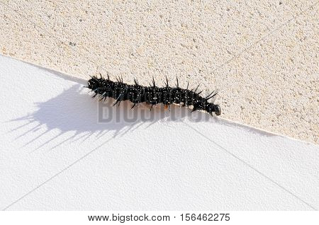 Caterpillar of a Peacock butterfly Inachis io in front of stone background