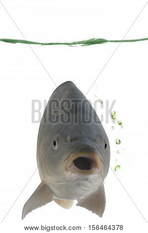 Carp in water on a white background