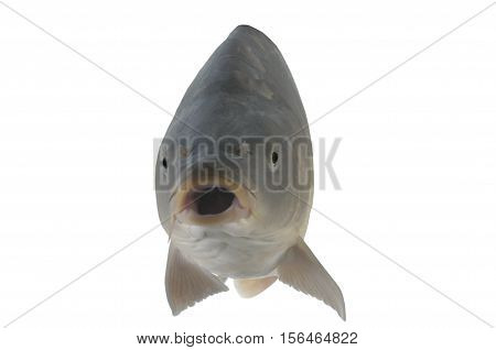 Carp isolated on a white, studio shot