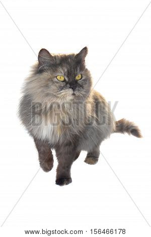 grey cat chinchilla isolated on white background