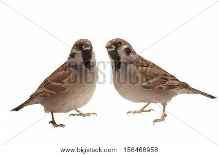 two sparrows  isolated on a white background