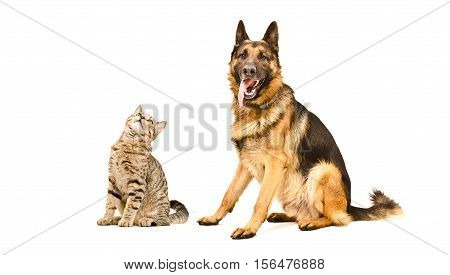 German Shepherd dog and curious cat Scottish Straight, sitting isolated on white background