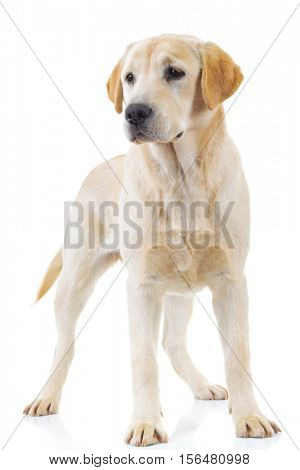 standing labrador retriever dog is looking away from the camera on white background