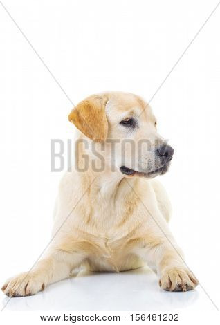 cute yellow labrador retriever looking to side away from the camera on white background