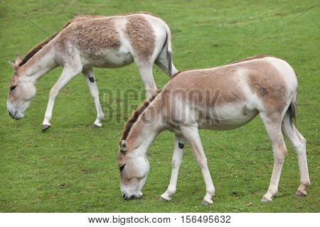 Turkmenian kulan (Equus hemionus kulan), also known as the Transcaspian wild ass. Wildlife animal.