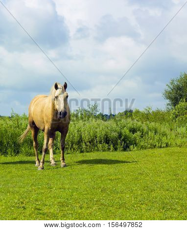White spotted Horse grazes on green glade under cloudy sky. Summer pastoral scene farm with domestic animal walks