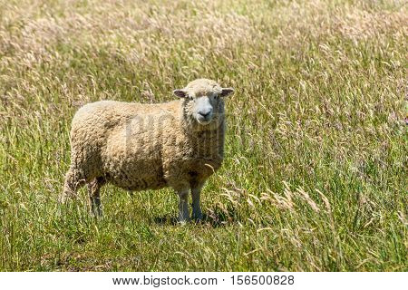 Portrait of a sheep - New Zealand