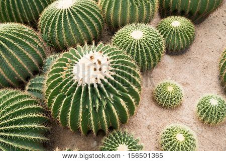 Beautiful of big Cactus flower background Green cactus flower on sand.