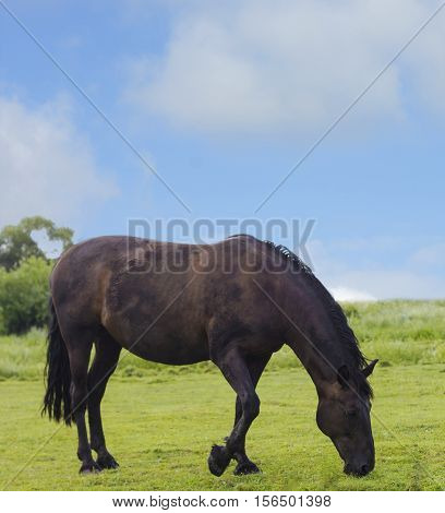 Wild horse dark brown color on grass. Domestic animal horse grazes on pasture. Summer rural landscape with herd horse in meadow under cloudy blue sky