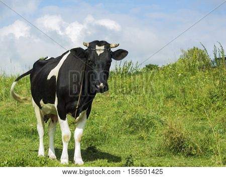 Black and white color cow grazing in meadow under blue cloudy sky pastoral scene