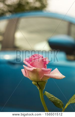 Pink Rose flower in drops of rain on blue car background. Flowers roses after rain