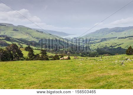 Two lambs grazing on the picturesque New Zealand landscape background