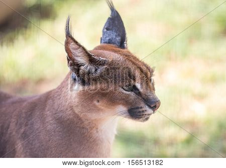 Caracal or African Lynx with pointed tufted ears