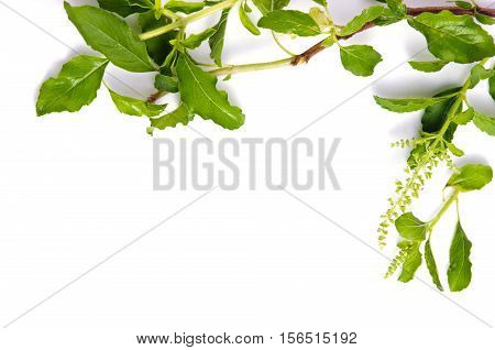 Basil Leaf Isolated On White Background With Blank Text Copy Space