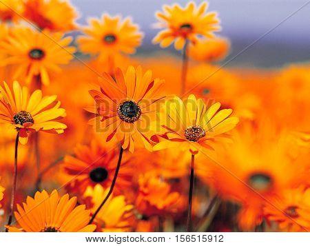 Sunflowers Beautiful Smell Natural Beauty Splendid Magnificent