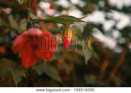 red flower nature backgroun fon cocon tree