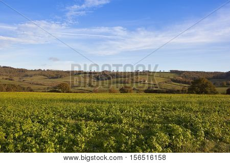 Mustard Crop In Autumn