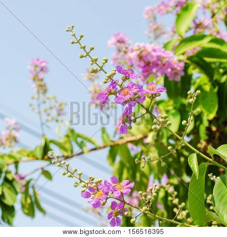 Cananga Flowers blooming on tree against blue sky Lagerstroemia. It is a species of flowering plant in the Lythraceae family.