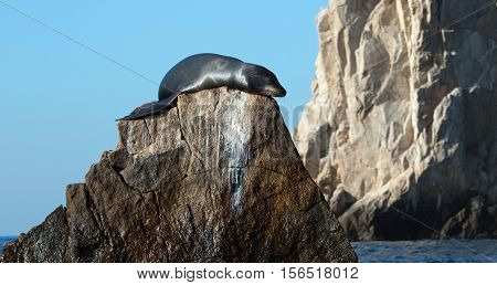 California Sea Lion on