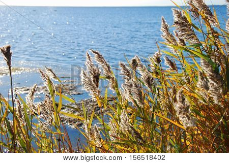 Glorious colorful reeds by seaside at a  sunny day