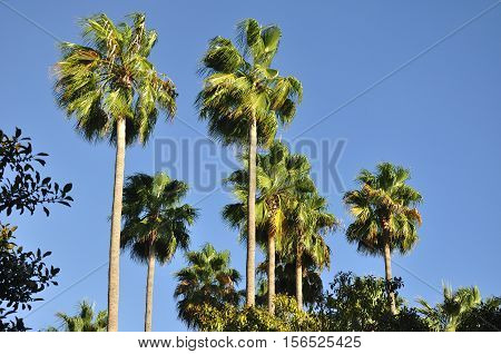 A grove of palm trees in Irvine in southern california against a blue sky.