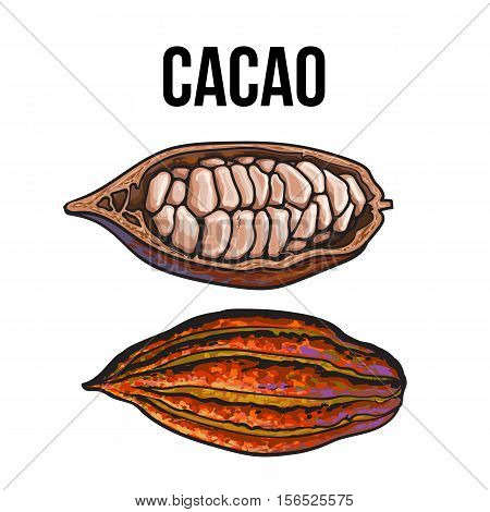 Hand drawn ripe whole and cut cacao fruits, sketch style vector illustration isolated on white background. Colorful illustration of half and whole cacao fruit