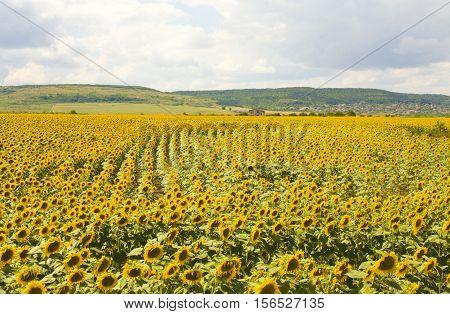 Big field with sunflowers, recorded near village Kranevo, Bulgaria.