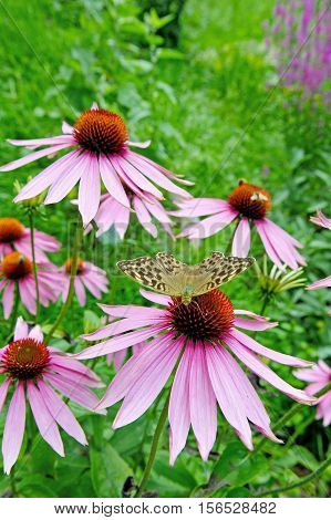 flowering purple coneflower in garden echinacea purpurea