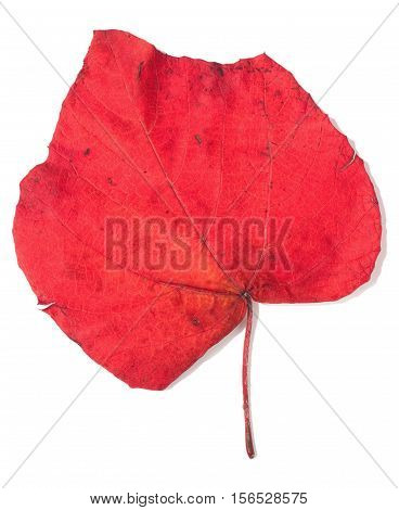red autumn leaf isolated over white background (vitis)