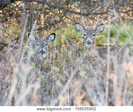 Two whitetail deer spike bucks in a thicket.