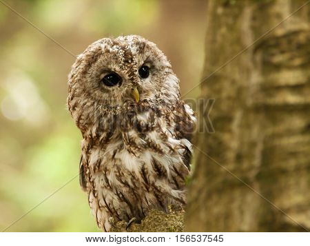 Striw aluco - tawny owl looking from behind of tree