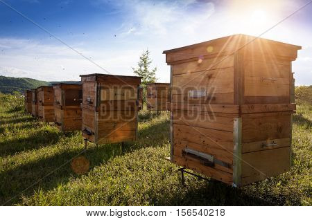 Hives in an apiary with bees flying to the landing boards.