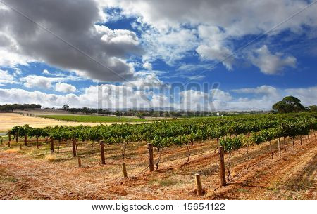 Cloudy Vineyard on a summer's day