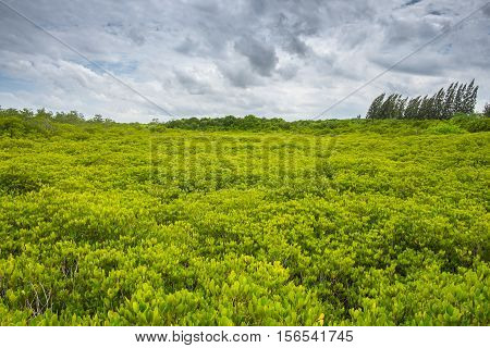 Beautiful mangrove forest with sky and cloud background. Mangrove forest in Thailand.