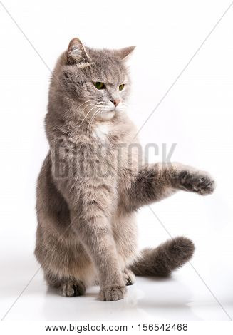 The sitting gray cat was going to be protected. The cat has deviated back and has raised a forepaw. It is isolated on white a close up focus on a muzzle