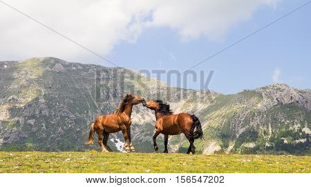 Two quarter horse stallions fighting with each other on pasturage