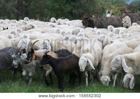 large herd sheep with goats and donkeys grazing