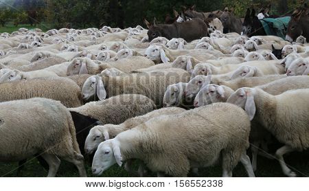 Large Herd Sheep With Donkeys Grazing
