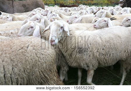 Sheep With Thick White Fur In A Herd With Lots Of Sheep