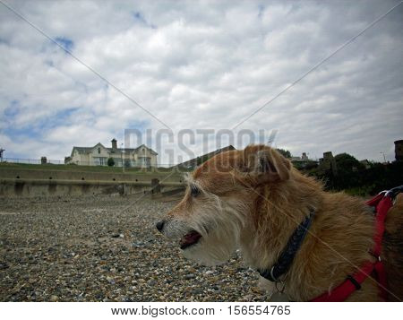 Cute pet Jack Russell X Yorkshire terrier cross mongrel dog stood on a stony shingle beach and panting. Wearing a red harness. Promenade in the background with blue sky and white clouds.