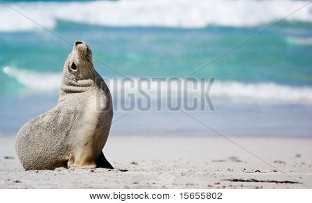Lonely Seal at Seal Bay, Kangaroo Island poster