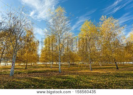 Yellow leaves and blue sky in autumn near Plummer Idaho.