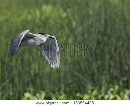 Adult Black-crowned Night-Heron flying over New England wetlands