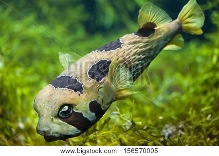Longspined porcupinefish (Diodon holocanthus), also known as the freckled porcupinefish. Marine fish.