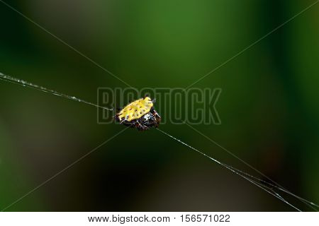 Close Up Of Yelllow Spider