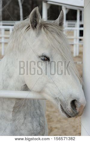 Close-up head of a dapple purebred boulonnais horse in a pen White Marble Horse