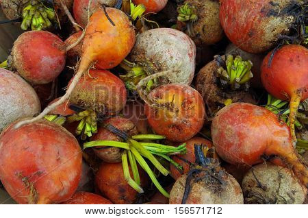 Colorful mix of farm fresh beets with green stems