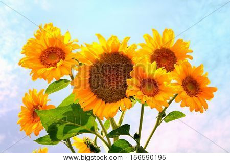 Beautiful sunflowers under blue sky in summer