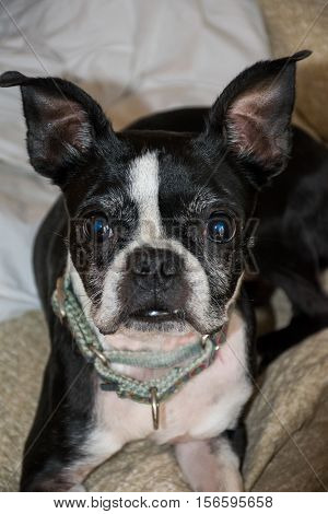 Boston Terrier Dog Pet looking for a treat